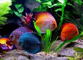 Бизнес-идея №10: «Разведение аквариумных рыбок»